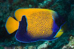 BD-141017-Komodo-5255-Pomacanthus-navarchus-(Cuvier.-1831)-[Bluegirdled-angelfish.-Drömkejsarfisk].jpg
